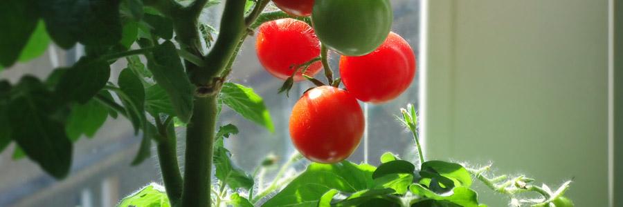 Tomaat kweken