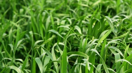 Gerstegras (Barley Grass) kweken