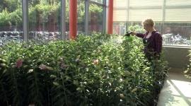 Bladbemesting lelies met CANNABOOST